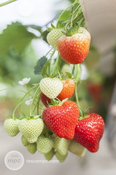 Fruit For Diabetics, Strawberry Farm, Beautiful Fruits, Wild Strawberries, Fruit Drinks, Flower Photos, Sweet, Cold Case, Desserts
