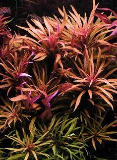 Background Plant | Limnophila Aromatica