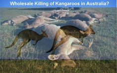 Who allowed wholesale killing of Australia's national animals, Kangaroos?