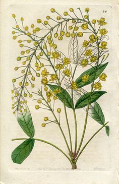 Edwards Botanical 1844 H C Berberry 26 | eBay