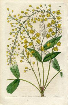 Edwards Botanical 1844 H C Berberry