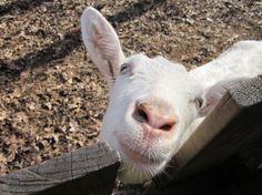 Goat's Milk Face & Body Cream SoapMart  8 oz Original by SoapMart