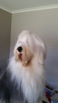 Old English sheepdog Dylan looking clean for a change