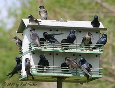 Purple Martins (Progne subis) - Full House -- Oh, how I would love to see this sight in my own yard!