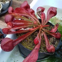 Sarracenia Psitaccina. O que é mais interessante com sarracenia São as variedades que elas apresentam. Com suas cores variadas e por ser muito ornametal é cada vez mais procurada por colecionadores. Linda demais ..! #planta #plant #plantas #plants #Jardim #Garden #plantascarnivorasbrasil #plantascarnivoras #carnivorousplants #universodascarnivoras #bomdia #savageplants #amor #linda #hobby #coleção #Like #Brasil #oi by universodascarnivoras