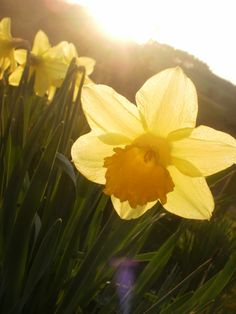 Little Daffodil
