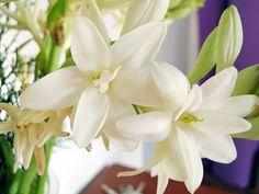 Flor Angelica