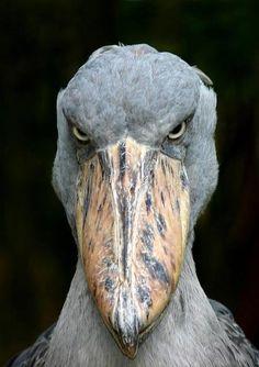 """"""" Quoi ma gueule, qu'est-ce qu'elle a ma gueule ? """" ( Johnny Hallyday ) / Shoebill stork. / Cigogne à bec en sabot."""