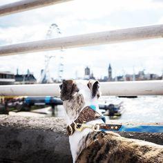 A fine evening to be #londondogs. What will your adventure be this weekend?Kai wears a sky blue #Dogsnug Ray of Sunshine #dogcollar in Medium by @pkoraca  #bestwoof #dogcrushdaily #thestatelyhound #citydogs #superdog #petsofinstaworld #instapup#puppiesofinstagram #ilovemydog #happymoment #dogholiday#dogloversofinstagram  #dogslife #dogoftheday #sighthound #whippet #whippetsofinstagram  #whippetlove #whippetpuppy #whippets #italiangreyhoundsofinstagram #italiangreyhound #lurcher…