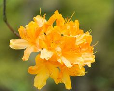 Rhododendron. by www.mroosfotografie.nl on Flickr.