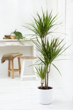 Dracaena marginata - estilo nórdico y naturaleza. La encontrarás en IKEA.