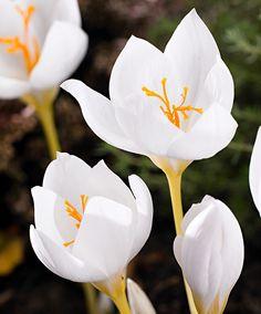 Weißer Herbstkrokus   Blumenzwiebeln   Bakker