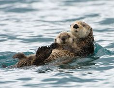 Beaver Father And Son Swimming