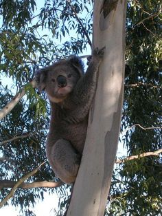 Koala outside our bedroom window in the Macedon Ranges. Macedon Ranges, Window, Bear, Bedroom, Animals, Animales, Animaux, Windows, Animal