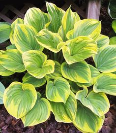 hosta magic fire | Hosta (Funkia) Magic Fire 1 szt. | SEZON WIOSNA \ Bulwy, cebule ...