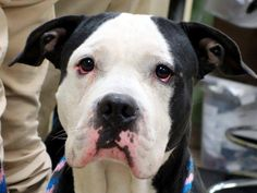 TO BE DESTROYED:11/14/2014 Manhattan Center  My name is THEO. My Animal ID # is A1020098. I am a male black and white pit bull mix. The shelter thinks I am about 3 YEARS old.  I came in the shelter as a STRAY on 11/08/2014 from NY 10452, owner surrender reason stated was STRAY.