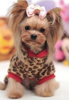 I& ready to go shopping! ⋆ It& a Yorkie Life Source by dsdurn The post I& ready to go shopping! ⋆ It& a Yorkie Life appeared first on Coulson Puppies. Perros Yorkshire Terrier, Yorkshire Terrier Haircut, Cute Puppies, Cute Dogs, Yorkie Hairstyles, Tattoo L, Yorshire Terrier, Puppy Cut, Yorky
