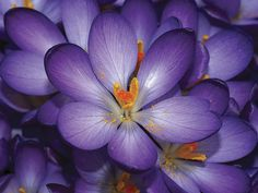Many spring-flowering bulbs such as crocus, scillas, snowdrops and species tulips bloom before the trees leaf out, so they will get enough sunlight to come back every year. Click http://capegazette.villagesoup.com/p/cottage-gardens-have-a-casual-informal-look/1047441 to read gardening article: Cottage gardens have a casual, informal look by Paul Barbano