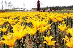 환상적인 백합꽃의 향연, 태안 백합꽃 축제
