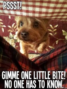 Yorkie, hungry again? #dogs #pets #YorkshireTerriers Facebook.com/sodoggonefunny