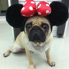 Ms. Pug is ready for Disneyland