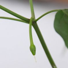 How to get seeds from the pod, sow, grow and take care of a superb green chili pepper plant in a container for people with small gardens who love fresh vegetables. Pepper Plants, Green Chilli, Small Gardens, Fresh Vegetables, Chili, Plant Leaves, Berries, Seeds, Urban Gardening