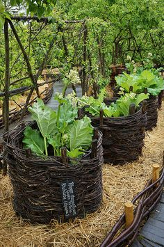 Wooden wattles protecting Rheum | by KarlGercens.com GARDEN LECTURES