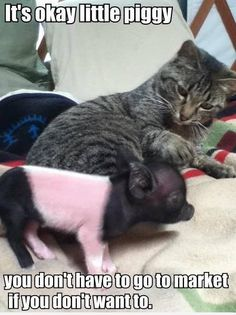 It's okay little piggy | Cat Meme