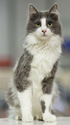 c6c0d679681db3 Turkish Angora-Looks like our Mufasa kitty. Miss you Mufasa. Beautiful Cats