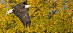 eagle in the fall