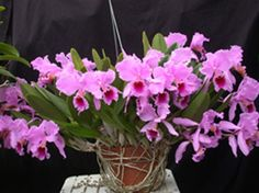 Cattleya percivaliana 'Albert's' presented by Orchids Limited