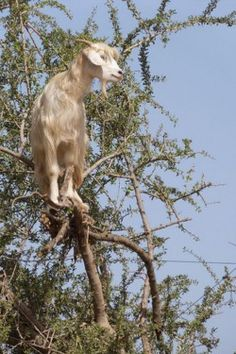 Goats climb the Argan trees of Morocco in search of food