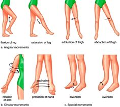 synovial joints | Joints (Articulations). Fibrous Joints. Cartilaginous Joints. Synovial ...