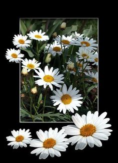 Wallpaper Tutorial and Ideas My Flower, Flower Pots, Beautiful Flowers, Beautiful Pictures, Good Day Quotes, Sunflowers And Daisies, Lily Garden, Daisy Love, Flower Cards