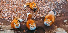 Fox, Renard