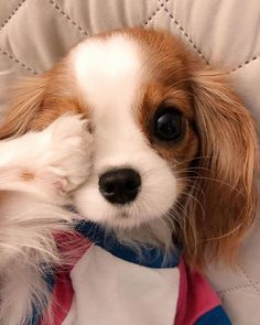 Animals Discover Meet the smallest and most adorable Cavalier King Charles in the world! Super Cute Puppies, Baby Animals Super Cute, Cute Baby Dogs, Cute Little Puppies, Cute Dogs And Puppies, Cute Little Animals, Cute Funny Animals, Cute Animals Puppies, Puppies Tips