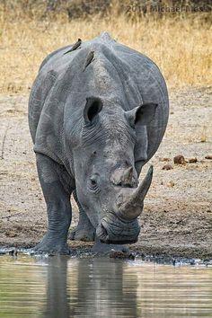 White Rhinoceros, Animal Games, Animals And Pets, Cute Cats, Wildlife, Elephant, Rhinos, Fundraisers, Hippopotamus