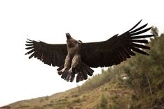 was visiting an animal sanctuary in peru and this andean condor flew over my head. i wasn't ready at all for the shot but it turned out in frame and focus. this bird is endangered and is the largest flying bird in the world with a wingspan of up to 3.3m [1277x851] [OC]