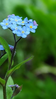 Forget-Me-Not-Flowers-Macro