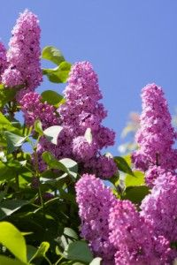 Syringa, common name, Lilac. Perennial, for generations of reliable Spring blooms & sweet fragrance. Flowering Shrubs, Trees And Shrubs, Flowers Perennials, Planting Flowers, Lilac Tree, Lilac Sky, Purple Lilac, Syringa Vulgaris, Lilac Bushes