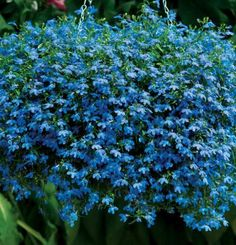 Lobelia Techno® Blue | Fine Gardening