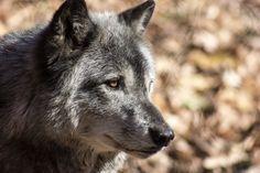 #Wolf #Wild #Wildlife #Animal #Zoo