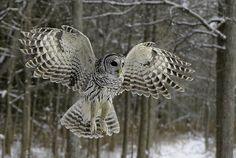 barred owl in flight | Flickr - Photo Sharing!