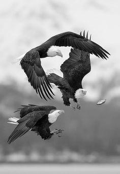 naturesdoorways: Bald eagles by Charles Glatzer on Fivehundredpx
