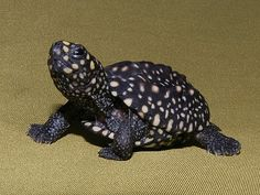 Black Spotted Pond Turtle hatchling. They are beautiful