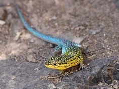 He is a lizard chile