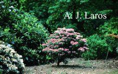 Kalmia latifolia - breedbladige lepeltjesboom