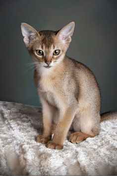 Top 05 Cat Breeds For Families