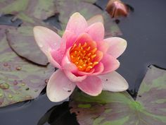 A water lily with the widest colour range of any changeable - apricot through orange to burgundy. Stunning lily for a small to medium pond. Pond Plants, Water Plants, Deep Water, Aurora, Lily, Northern Lights, Orchids, Lilies, Aquatic Plants