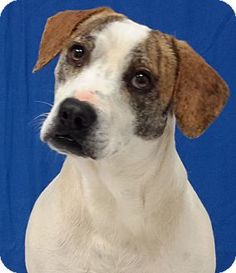 Carthage, NC - Terrier (Unknown Type, Medium)/Hound (Unknown Type) Mix. Meet Chubbs, a dog for adoption. http://www.adoptapet.com/pet/12229227-carthage-north-carolina-terrier-unknown-type-medium-mix